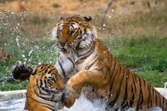 Skämtsamma tigrar i vatten Fotografering för Bildbyråer
