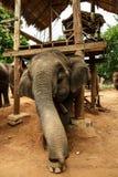 Skämtsamt behandla som ett barn elefanten Fotografering för Bildbyråer
