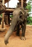 Skämtsamt behandla som ett barn elefanten Royaltyfri Fotografi