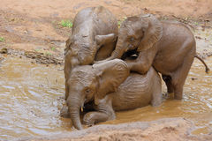 Skämtsamt behandla som ett barn elefanter arkivbild