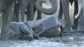 Skämtsamt behandla som ett barn elefanter - den Kruger nationalparken