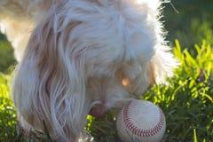 Skämtsamt vitt labradooble spela med en sliten baseball i gräset i eftermiddagsolen fotografering för bildbyråer