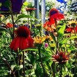 Skärm av Echinaceablommor fotografering för bildbyråer