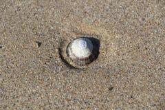 Skålsnäcka på sanden Arkivfoto