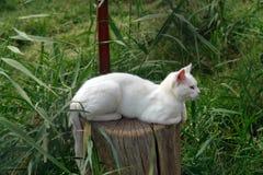Skåpbil katt Royaltyfri Foto