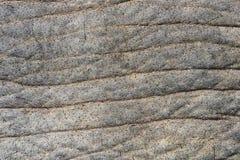 Skóra Afrykańscy słonie jest słoniami genus Loxodonta Genus składa się dwa extant gatunku: Afrykański krzaka słoń, L zdjęcia stock