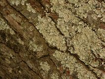 Skóra drzewny b zdjęcia royalty free