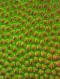 Skóra młody jackfruit Fotografia Royalty Free