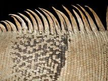 Skóra zielona iguana Fotografia Stock