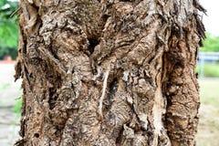 Skórki drzewo Fotografia Royalty Free