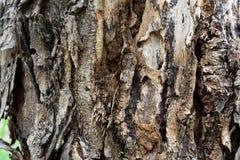 Skórki drzewo Obraz Royalty Free