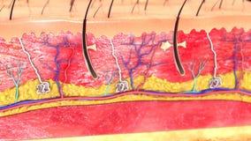 Skóry anatomia ilustracja wektor