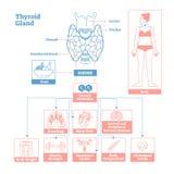 Sköldkörtel av endokrin körtelsystemet För vektorillustration för medicinsk vetenskap diagram royaltyfri illustrationer