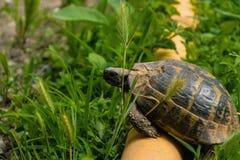 Sköldpadda över röret som övervinner hinder royaltyfri bild