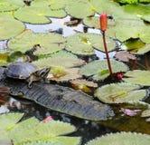 Sköldpadda. Royaltyfri Foto