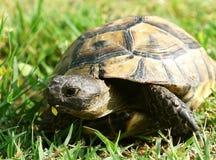 Sköldpadda. Royaltyfria Bilder