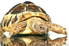 sköldpadda 3 Arkivfoto