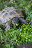sköldpadda royaltyfria bilder