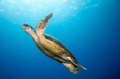 Sköldpadda Royaltyfri Bild