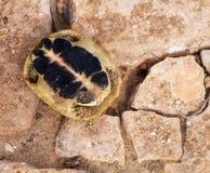 Sköldpadda Royaltyfria Foton