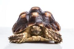 Sköldpadda Arkivbilder