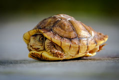 Sköldpadda Fotografering för Bildbyråer