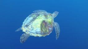 Sköldpadda Balicasag, filippin arkivfoton