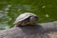Sköldpadda eller sköldpadda Royaltyfri Foto