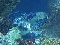 Sköldpadda för ‹för †för havs arkivfoto