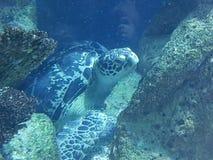 Sköldpadda för ‹för †för havs royaltyfria bilder