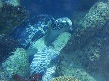 Sköldpadda för ‹för †för havs fotografering för bildbyråer