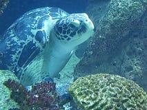 Sköldpadda för ‹för †för havs arkivfoton