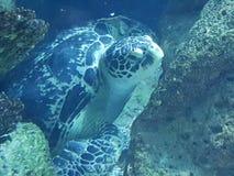 Sköldpadda för ‹för †för havs royaltyfri fotografi