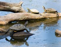 sköldpadda för 2 familj Arkivfoto