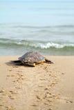 sköldpadda för carettaloggerheadhav Arkivfoto