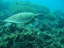 sköldpadda för eretmochelyshawksbillimbricata Royaltyfria Foton