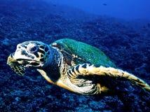sköldpadda för eretmochelyshawksbillimbricata royaltyfri bild