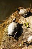 Sköldpadda för goffer TVÅ arkivbild