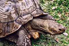 Sköldpadda för Gopheruspolyphemusland royaltyfria bilder