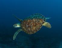 sköldpadda för grönt hav Fotografering för Bildbyråer