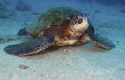 sköldpadda för grönt hav Arkivfoton
