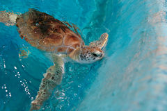 sköldpadda för grönt hav Royaltyfria Foton