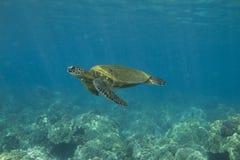 sköldpadda för grönt hav Royaltyfri Bild