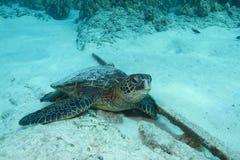 sköldpadda för grönt hav Arkivbilder