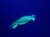 sköldpadda för grönt hav Royaltyfri Foto