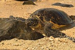 sköldpadda för grönt hav Arkivbild