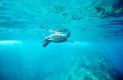 Sköldpadda för grönt hav (Cheloniamydas) Arkivfoton