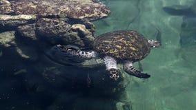 Sköldpadda för grönt hav i den undervattens- observatoriet Marine Park i Eilat, Israel stock video