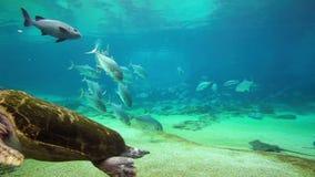 Sköldpadda för grönt hav i havsvärlden Gold Coast Queensland Australien lager videofilmer