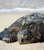 Sköldpadda för grönt hav i Hawaii Arkivbild